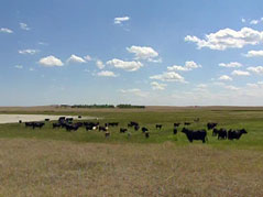 cattle cows animals prairie sunny day clouds