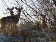 Deer, Hunting