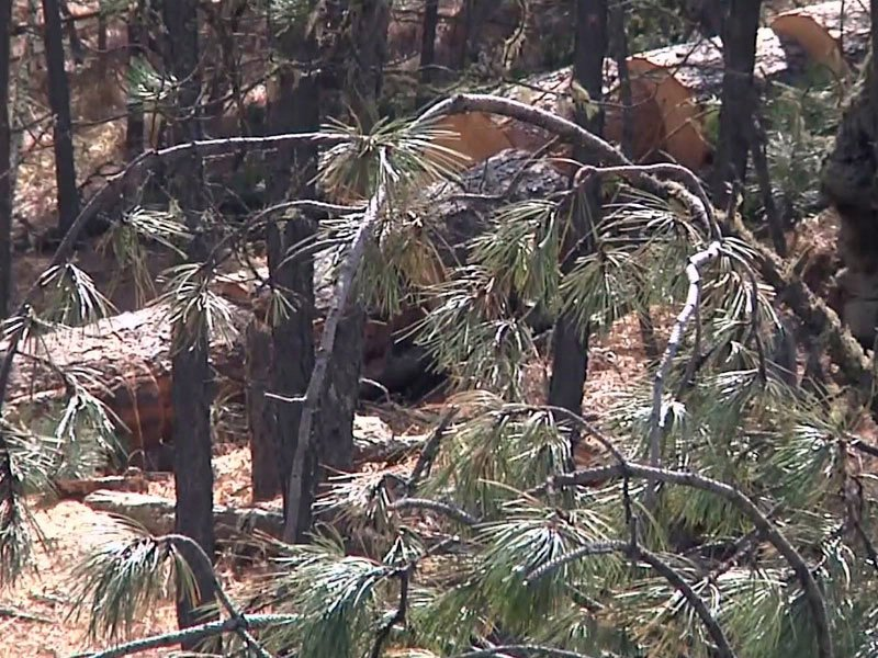 black hills forest pine beetles cut and chunk method timber