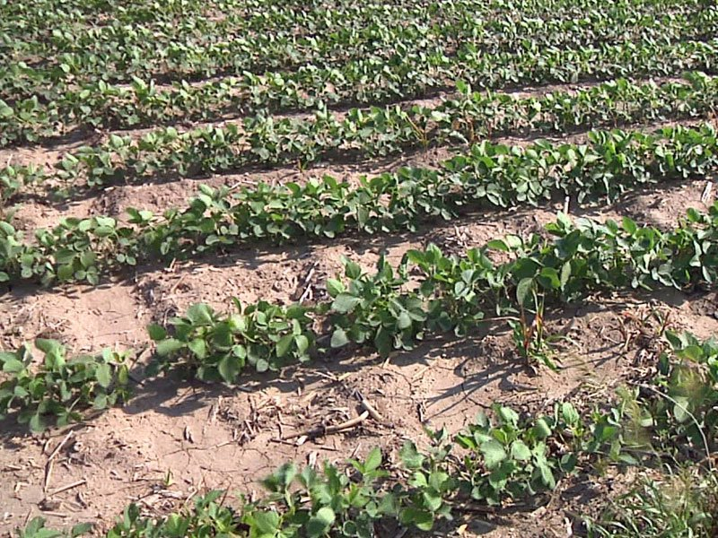soybeans crops farmer june weather dry