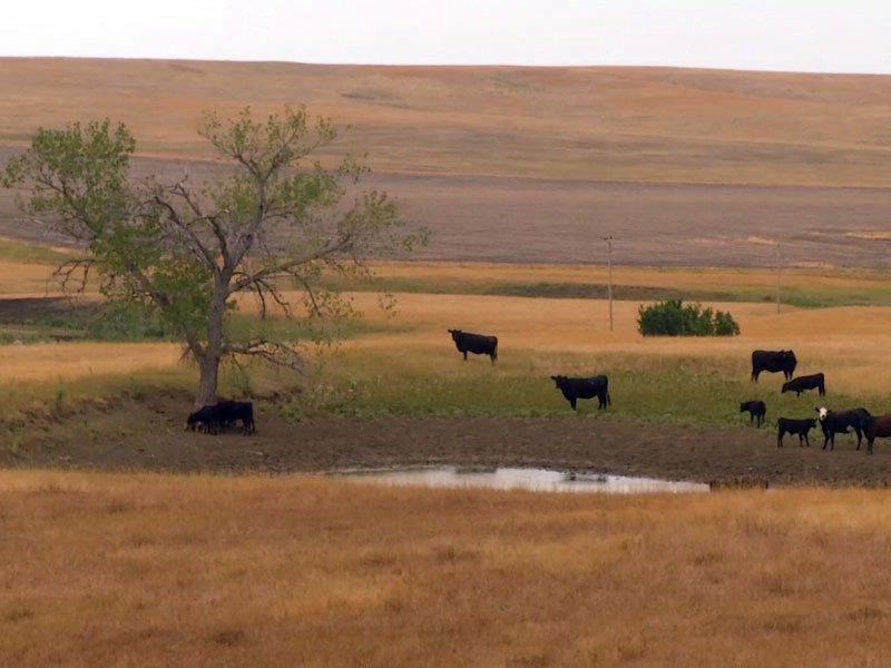 drought cattle dry land graznig