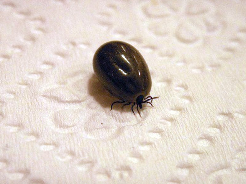 ticks, risk of lyme disease, wet weather and ticks