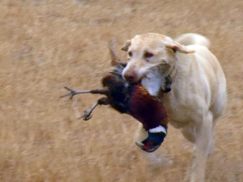 hunting dog pheasant