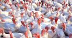 Minnesota Farms Mostly At Full Production After Bird Flu
